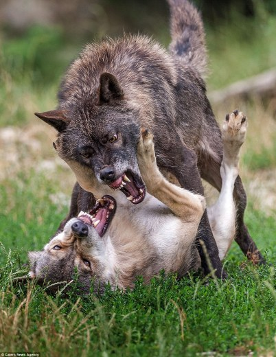 wolf fight03