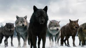 wolf-pack02