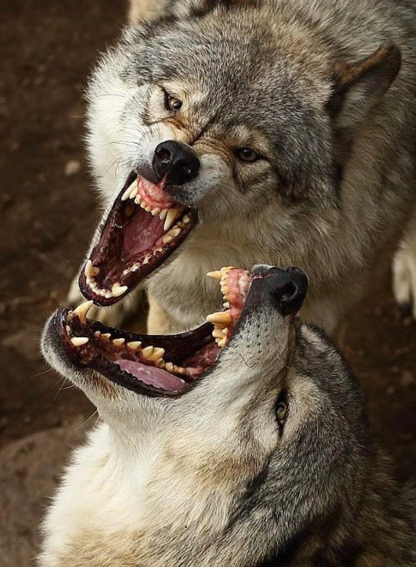 wolf-teeth-1